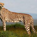 Çita nesli sandığımızdan daha büyük bir tehdit altında