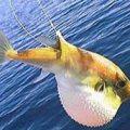 Balon balığı balıkçıları bıktırdı