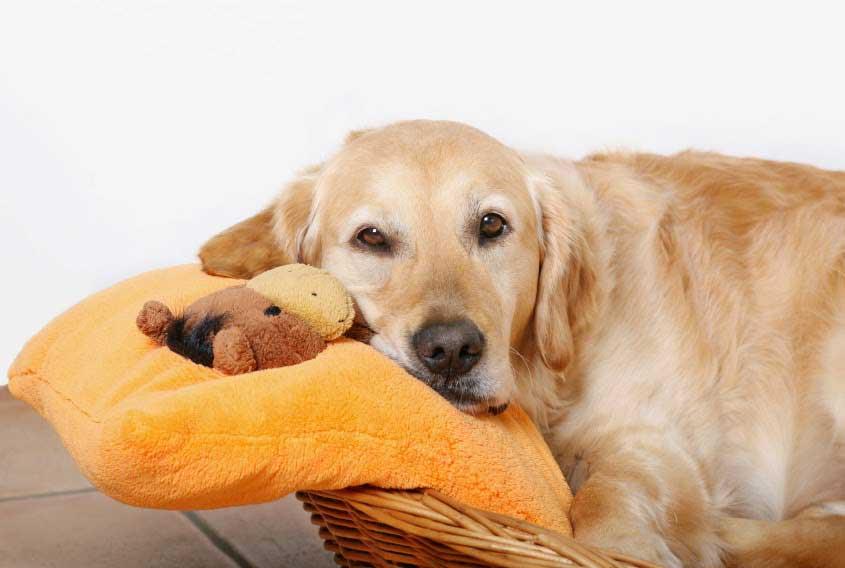 Köpeklerde Hayali Gebelik (Yalancı Gebelik)