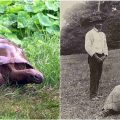 En eski kara hayvanı: 182 yaşındaki dev kaplumbağa Jonathan