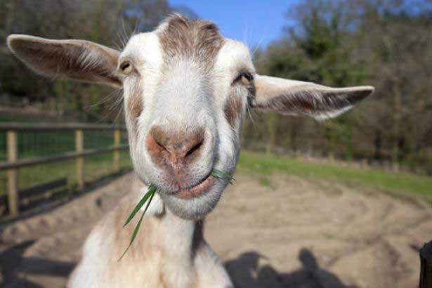 Keçiler göz kontağı kurarak insanlarla iletişime geçiyor
