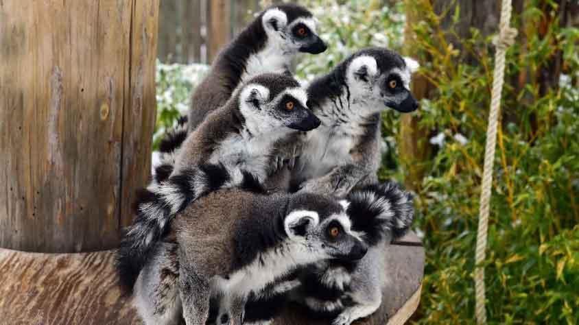 Soyu tükenmekte olan sevimli lemurlar çoğaldı