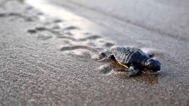 Yavru deniz kaplumbağaları denize ulaşmaya başladı